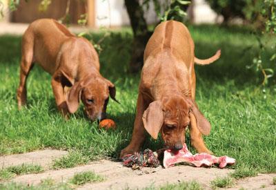 Dog-eating-raw-bone