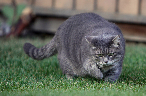 Obesity In Cats Raw To The Rescue True Carnivores