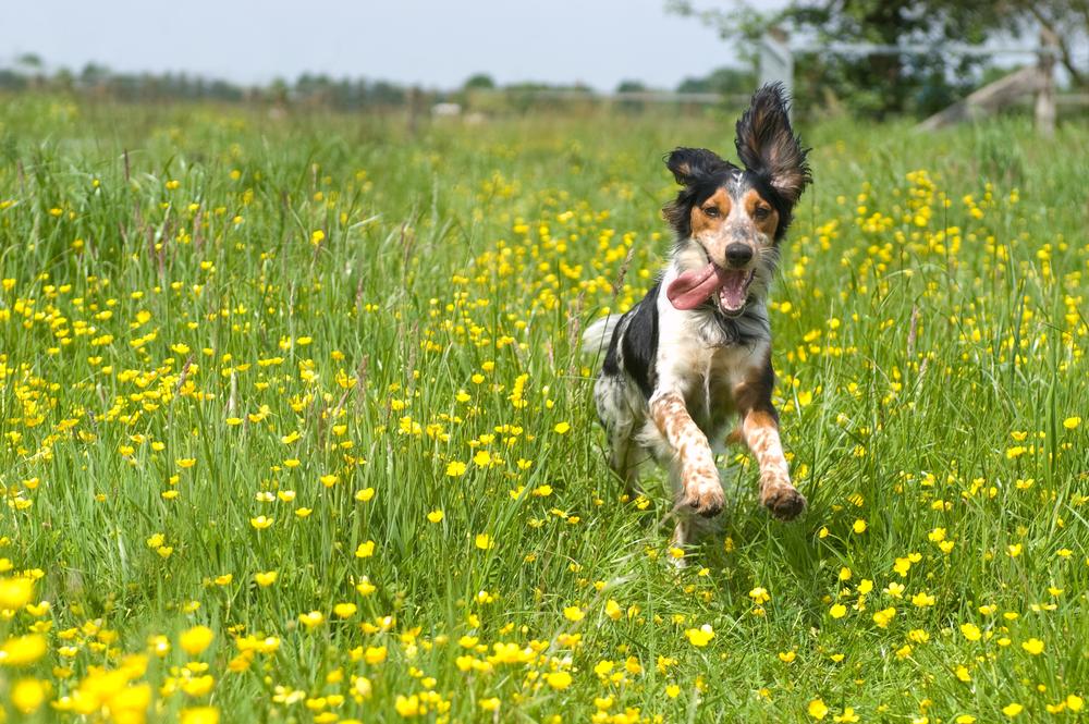 spring-dog