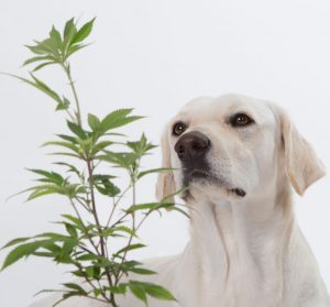 Cannabis and your pets